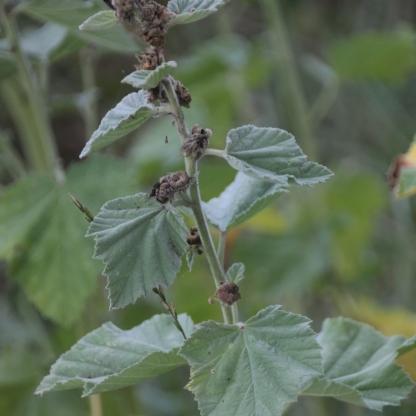 Marsh Mallow (Althaea officinalis)