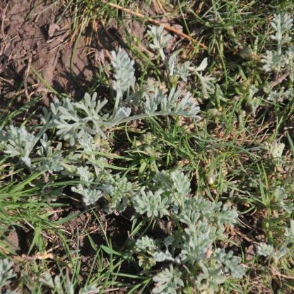 Possibly Marsh Cudweed (Gnaphalium ugliginosum)