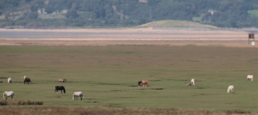 HORSES ON THE SALTMARSH