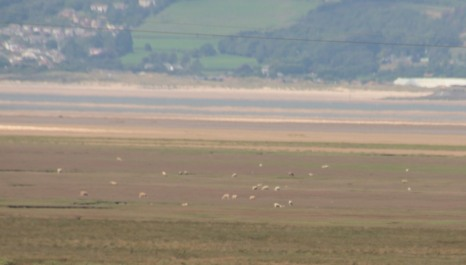 SHEEP ON THE SALTMARSH