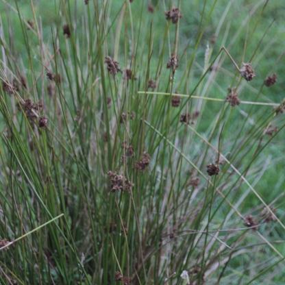 Sharp Rush (Juncus acutus)