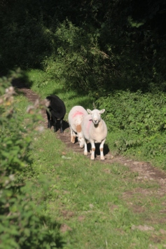 Sheep on Path