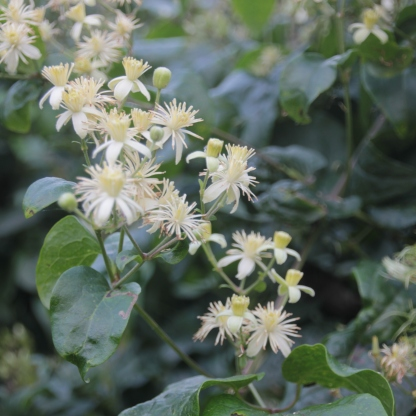 Traveller's Joy flowers (Clematis vitalba)