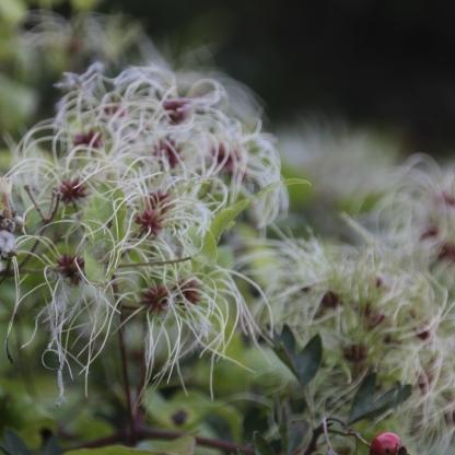 Traveller's Joy seed-heads (Clematis vitalba)
