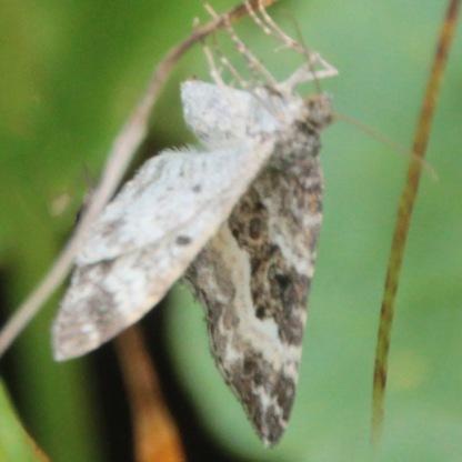 Barred-rivulet (Perizoma bifaciata)