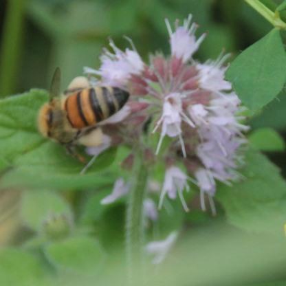 Bee (Aspidae species)