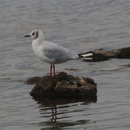 Black-headed Gull (Chroicoce-phalus ridibundus)