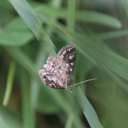 Possibly Grizzled Skipper (Pyrgus alveus)