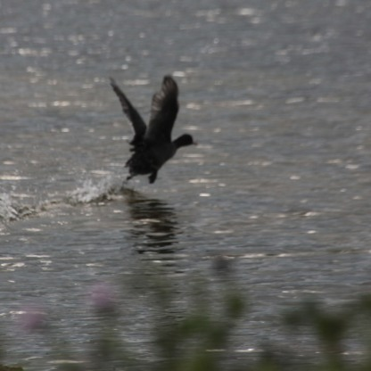 Coot taking off (Fulica atra)