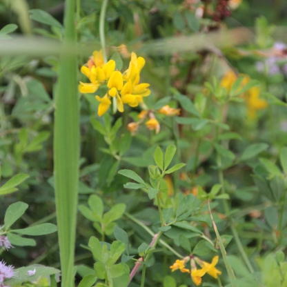 Greater Bird's-foot Trefoil (Lotus pedunculatus)
