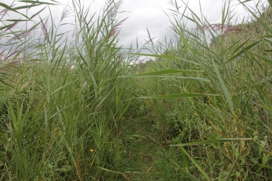 Head High Reeds