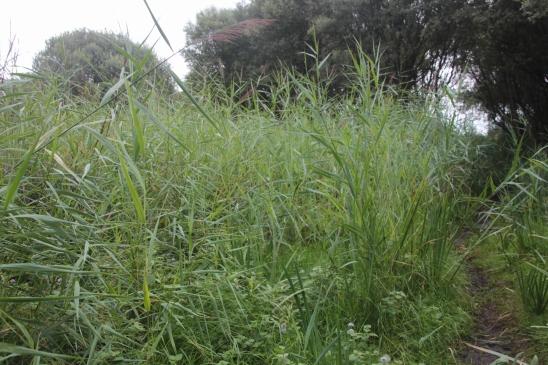 Head-high Reeds