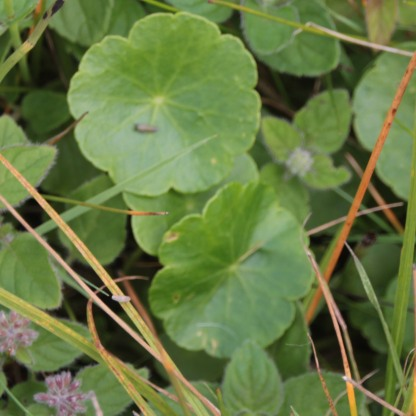 Marsh Pennywort (Arum maculatum)