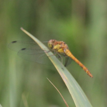 Red Darter Dragonfly (Libellulidae species)