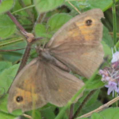 Small Heath (Coenonympha pamphilus)