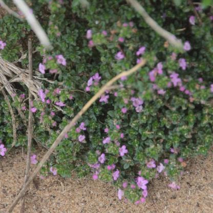 Wild Thyme (Thymus polytrichus)