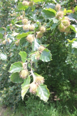 Beech Tree with beechnuts (Fagus sylvatica)