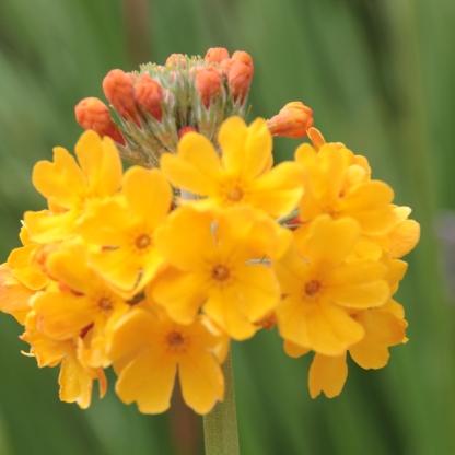 Candelabra Primula (Primula bulleyana))