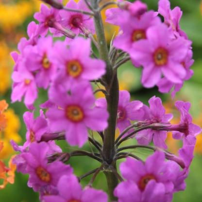 Candelabra Primula (Primula pulverenta)