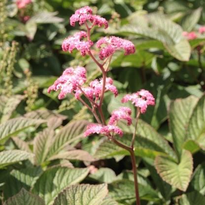 Fingerleaf rodgersia (Rodgersia aescufolia)