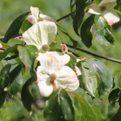 Flowering Dogwood (Cornus florida