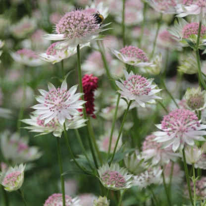 Greater Masterwort (Astrantia major)