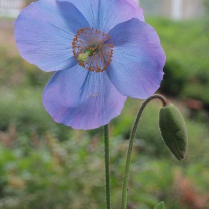 Himilayan Poppy ( meconopsis grandis)
