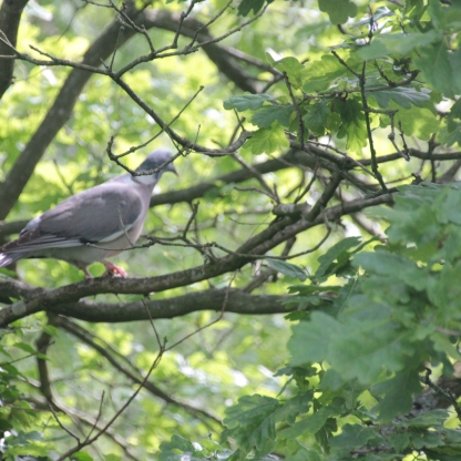 Pigeon in Oak tree