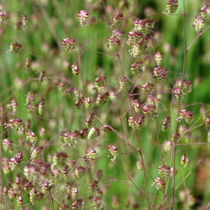Quaking Grass (Briza minor)