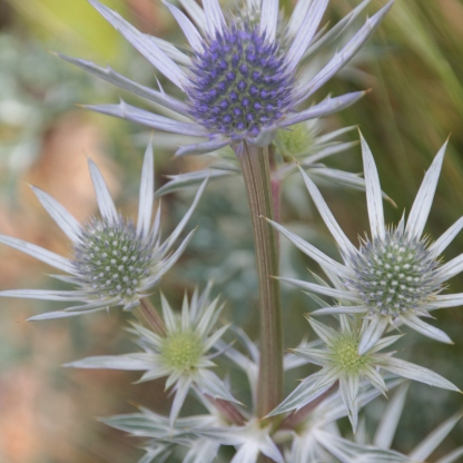 Sea Holly (Eryngium oliverianum)