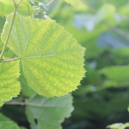 Lime leaves (Tilia europaea)