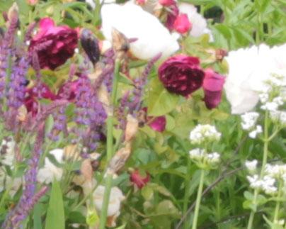 English Roses and White Valerian