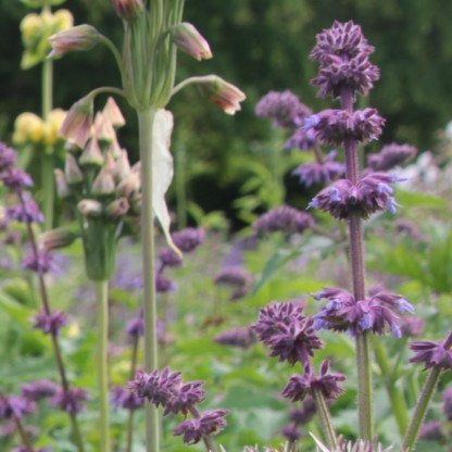 """Lilac Sage """"Blau hugel"""" (Salvia verticella)"""