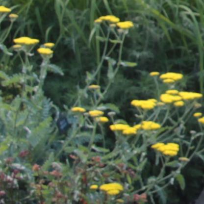 """Achillea """"Moonshine"""" (Achillea millefolium)"""