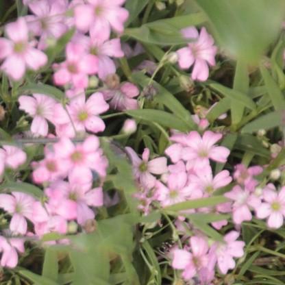 Baby's Breath (Gypsophila repens)