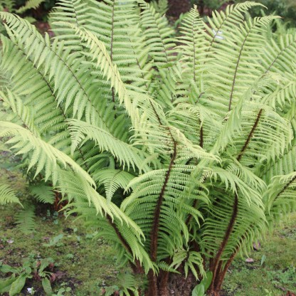 Fern (Polystichum aculeatum)
