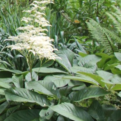 Finger-leaf Rodgersia (Rodgersia aesculifolia)