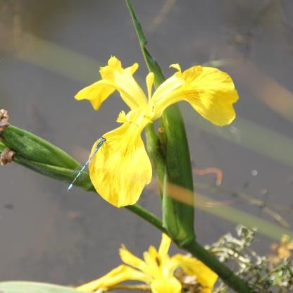 Yellow Flag Iris (Iris sibirica)