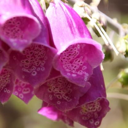 Foxglove (Digitalis purpurea)