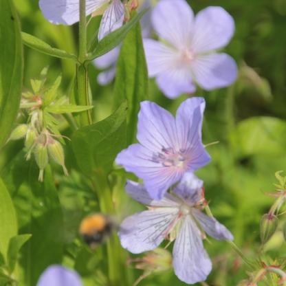 Hardy Geranium (Geranium magnificum))