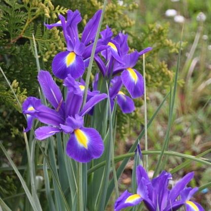 Blue flag Iris (Iris sibirica)