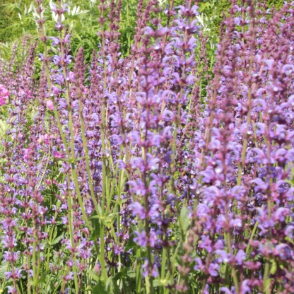 Meadow Sage (Salvia pratense)