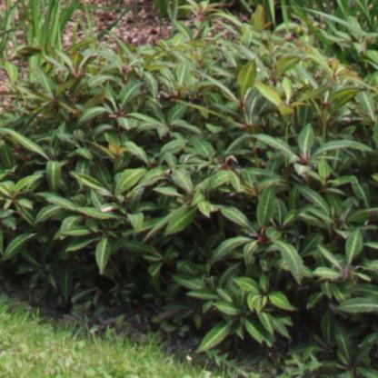 Monkey Plant (Wild Petunia - Ruellia makoyana))