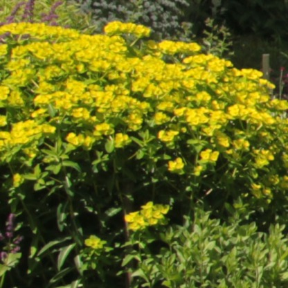 Spurge (Euphorbia characias)