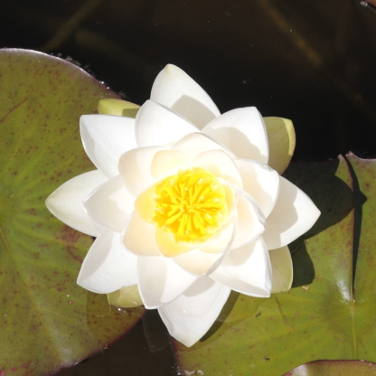 American White Water Lily (Nymphoea alba)